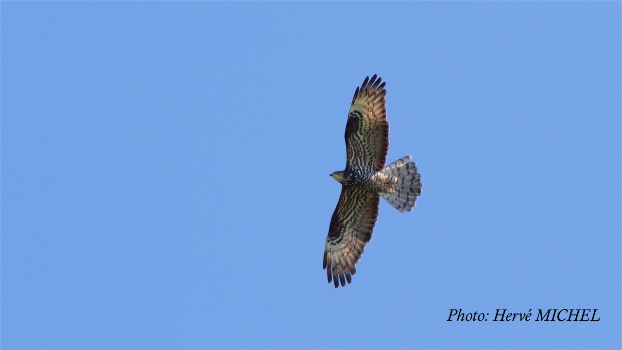 bondre e apivore honey buzzard pernis apivorus luknajno pologne 9 version 2