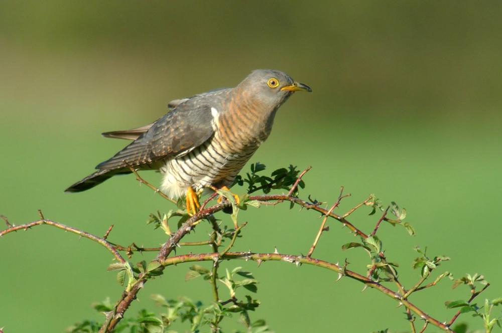Le Coucou gris ~ Le Coucou Des Bois Oiseau